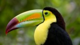 Belize-birdwatching-Toucan