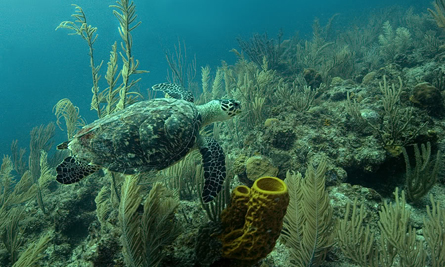 Down Under Turtle Absolute Belize