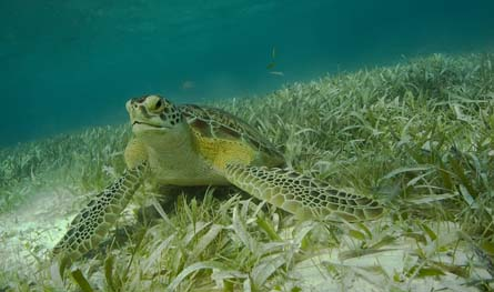 GreenTurtleGrazing Absolute Belize