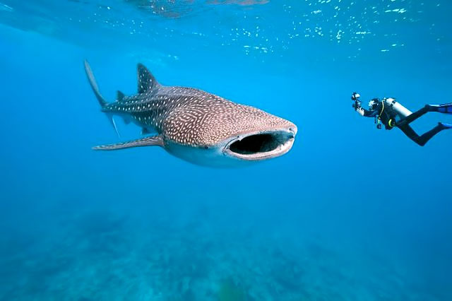 belize-whaleshark-and-diver_tailor_made_vacation