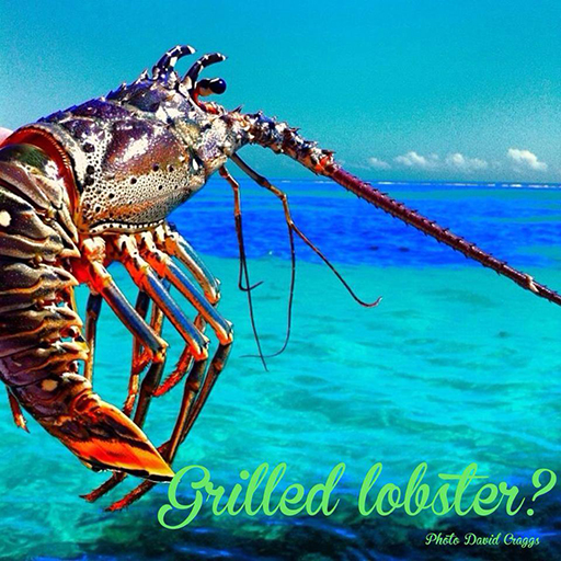 Lobster_thanksgiving_vacation_absolute_belize